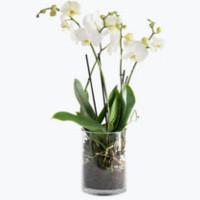 Hvit orkide i glasspotte